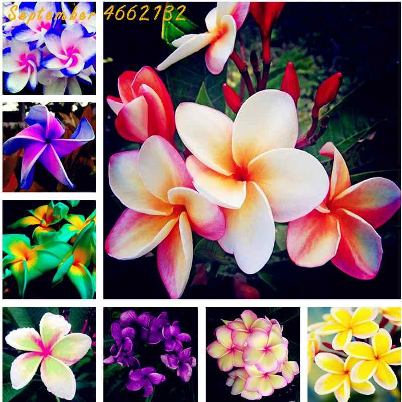 Limited-time discount Bonsai 200 Pcs Plumeria Potted Frangipani Hawaiian Lei Flower Rare Exotic EggFlower Perfect Color Diy Home
