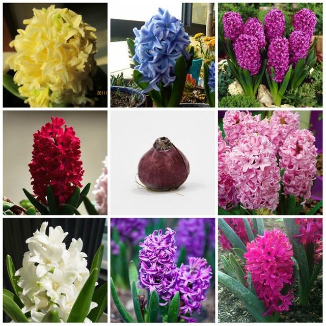 1 literie jacinthe mixte couleur ampoule bulbe automne jardinage croissance printemps fleur. Black Bedroom Furniture Sets. Home Design Ideas