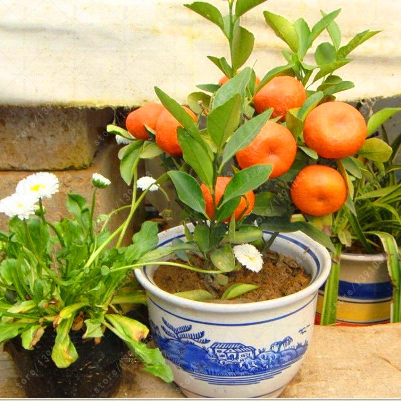 20 pcs/bag mini bonsai orange seeds, organic orange tree fruit seeds, Nutritious Citrus seeds for home garden plant pot