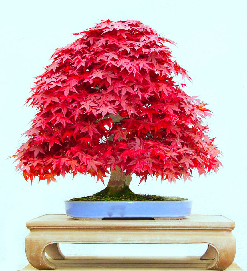 20 Seed Japanese Maple Bonsai Tree Red Maple Gorgeous Q