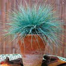 100pcs  pack Blue Fescue Grass Seeds – (Festuca glauca) perennial hardy ornamental grass so easy to grow