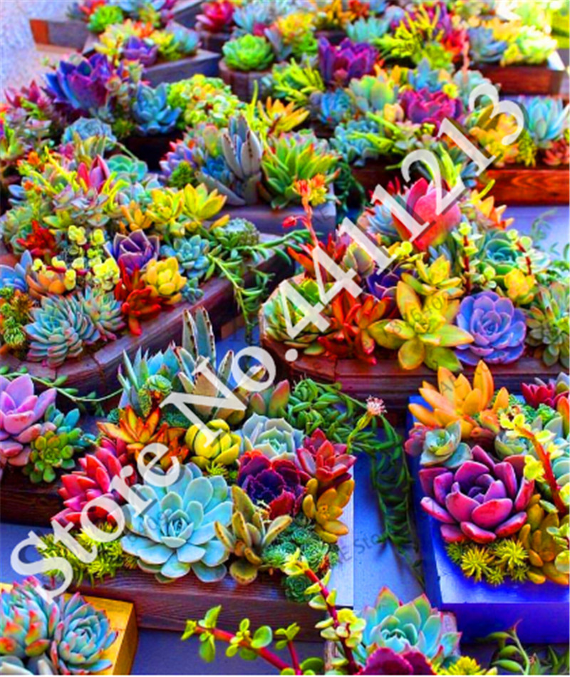 New Fresh 200 Pcs/bag Real Mini Succulent Cactus Garden Rare Succulent Perennial Herb Plants Bonsai Pot Flower Flores Indoor