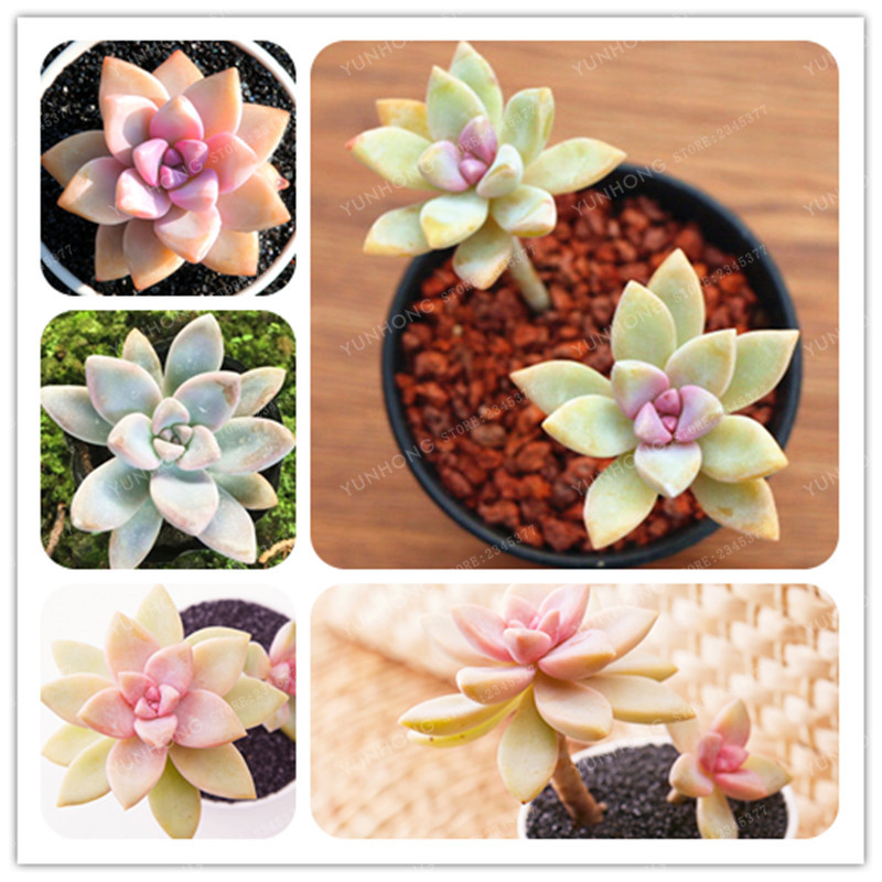 New Arrival 100% Genuine 100pcs/Pack Conophytum Altum Seeds Succulent Cactus Seeds Potted Flower For Home Garden Easy To Grow