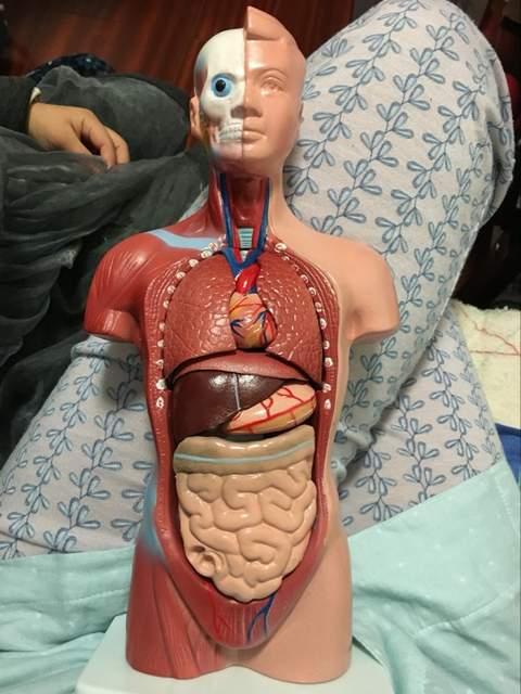 Online Shop Human Torso Model 26cm Human Internal Organs Human