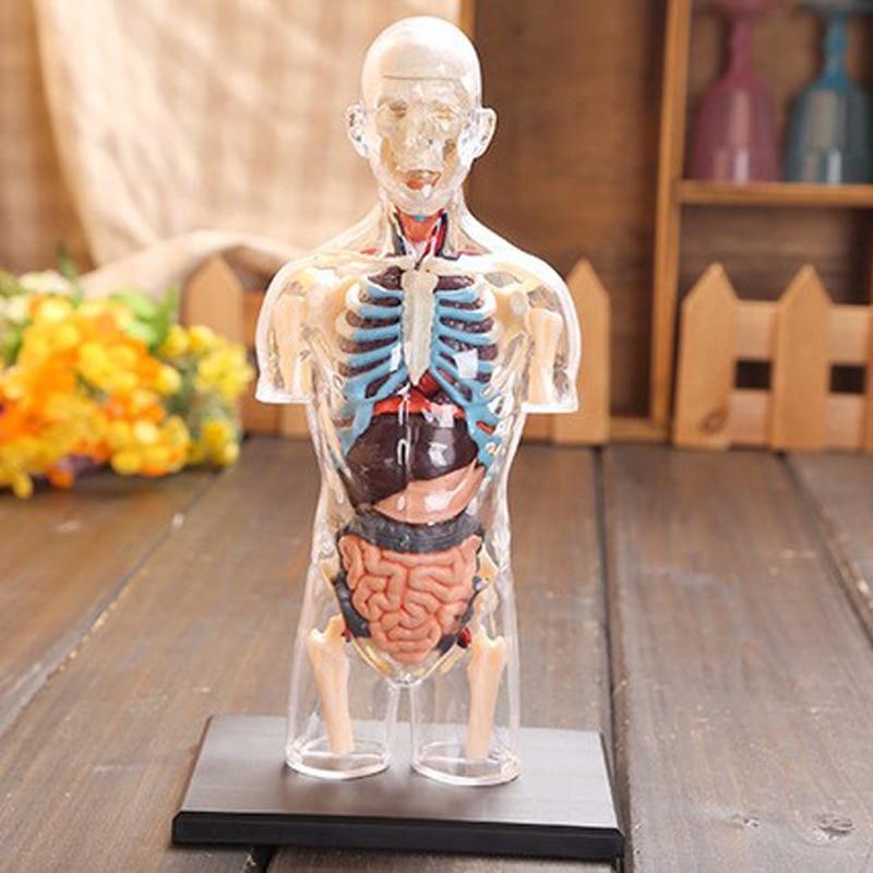 Assembled Transparent Human Torso Human Anatomy Model 4D Bust Male ...