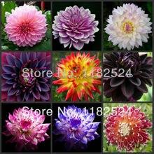 100 шт. Разноцветная Dahlia Семена Семена бонсай цветок растение