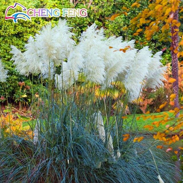 Il trasporto Libero 150 pz Rare Colorato Pampas Erba Cortaderia bonsai Bellissimo Giardino Decorazione Della Casa Piante Da Fiore Decorativo Fai Da Te