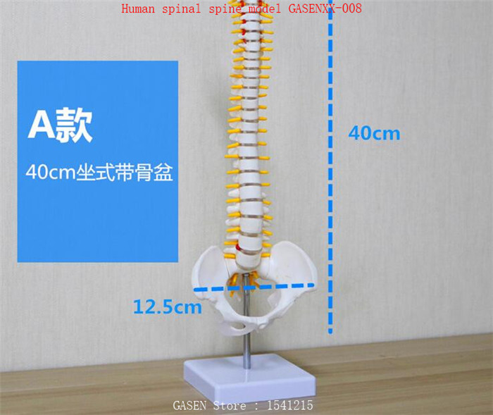 skeleton Spine Bone model Femur color 1: 1 Orthopedic practice teaching Human spinal spine model GASENXX-008-A