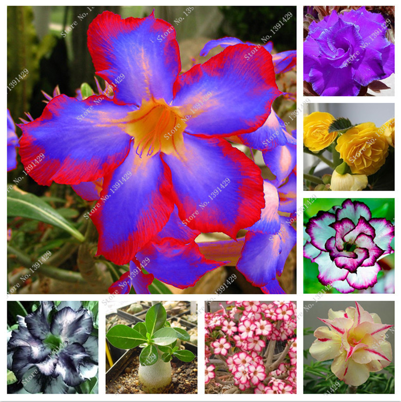 2 pcs/bag 24 colors real desert rose seeds, Adenium seeds bonsai Succulent Ornamental fl ...