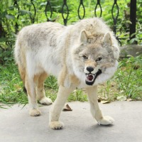 huge simulation wolf toy polyethylene&furs standing wolf model doll about 110x65cm 0552