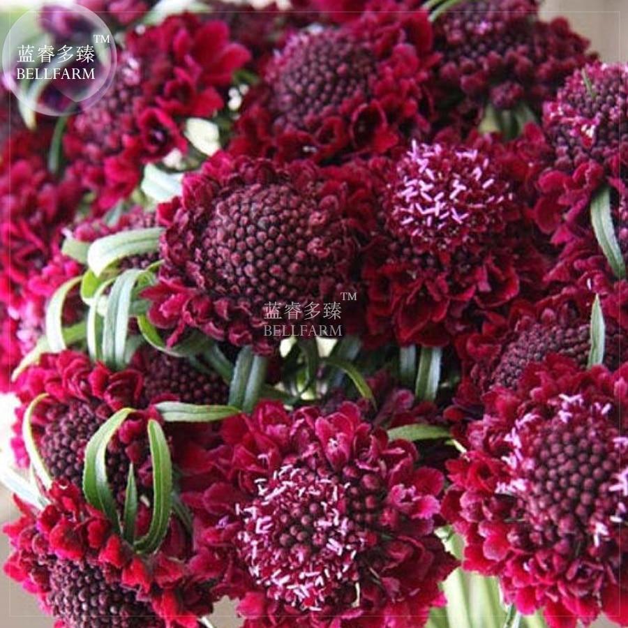 Bellfarm Bonsai Scabious Scabiosa Fire Red Pincushion Bonsai Flowers