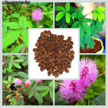 30pcs/bag mimosa balcony bonsai tree flower pudica funny Sensible Foliage Plants Perennial for home garden predict earthquake