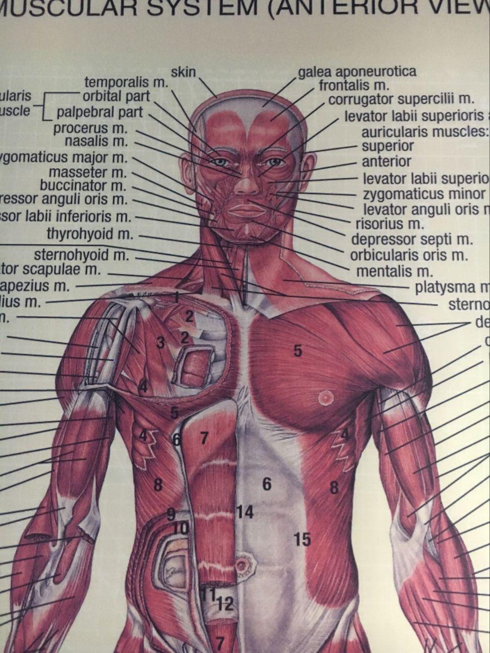 Aliexpress.com : Buy Human Anatomy posterior anterior view anatomy ...