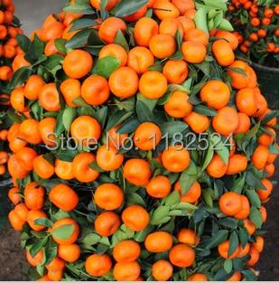 100pcs China Top Quality Climbing Orange Fruit Tree Seeds