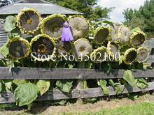 "10 Pcs Skyscraper ""8 Feet Tall"" Sunflower Bonsai, Annual Giant Novel Blooming Plants Home Garden Bonsai Easy To Grow Free Ship"