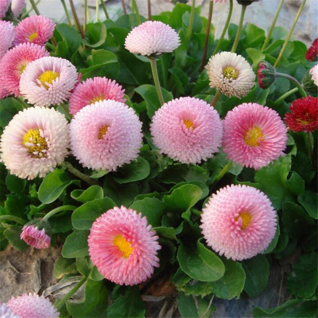 50seeds potted flowers pink lady daisy seeds balcony bonsai plant 50seeds potted flowers pink lady daisy seeds balcony bonsai plant for garden home easy to mightylinksfo