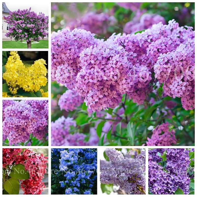 100 Pcs/ Bag Bonsai Lilac Japanese Lilac (Extremely Fragrant)Clove Flower Potted Lilac Trees Outdoor Flore Plant for Home Garden