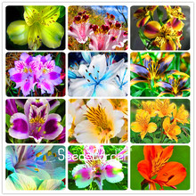 Best-Selling! 100 Seeds/Lot Peruvian lily seeds home garden flowers bonsai potted