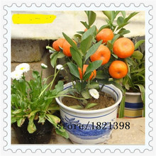 free ship 50 seeds Balcony Patio Potted Fruit Trees Planted Seeds Kumquat Seeds Orange Seeds Tangerine Citrus