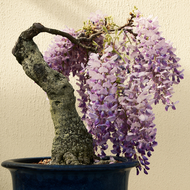 10 Wisteria Seeds--Beautiful Bonsai for DIY Home Garden , real and fresh Flower seeds