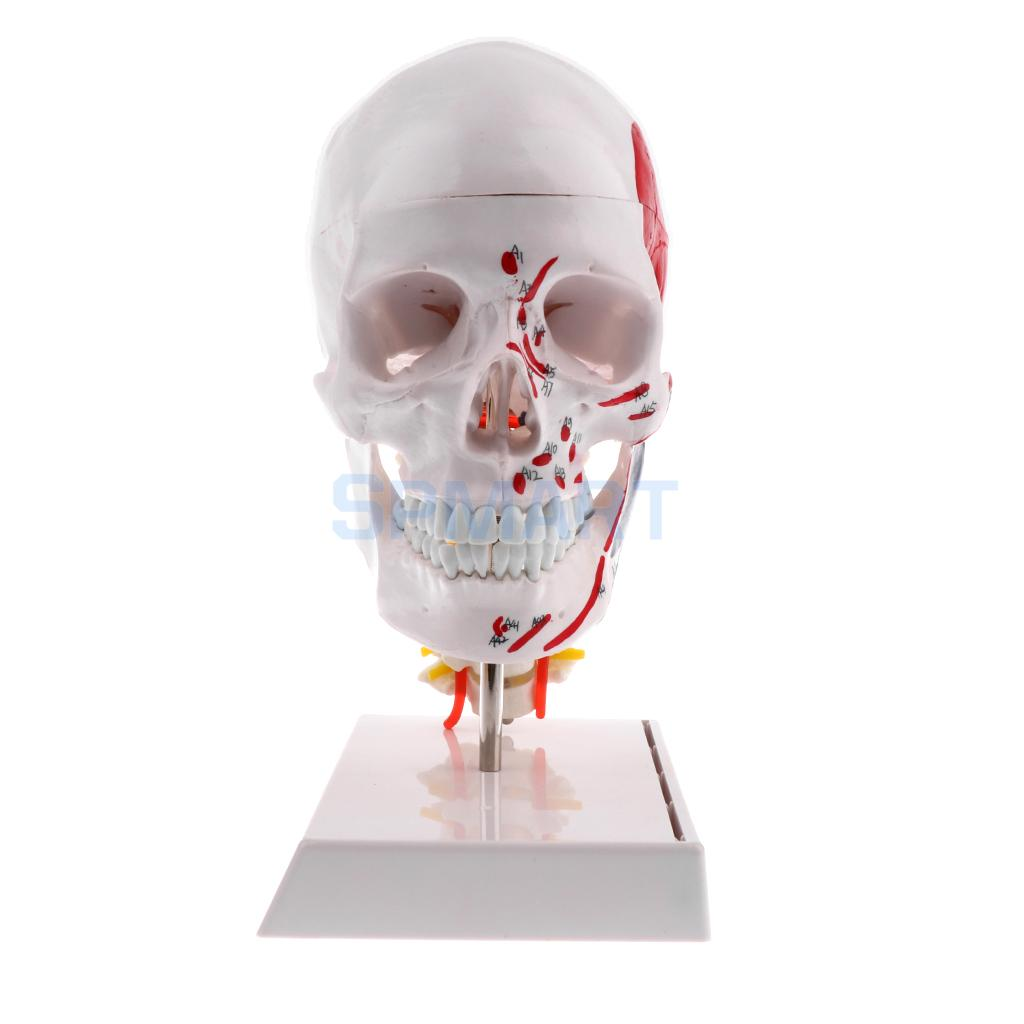 Buy skull model kit and get free shipping on AliExpress.com