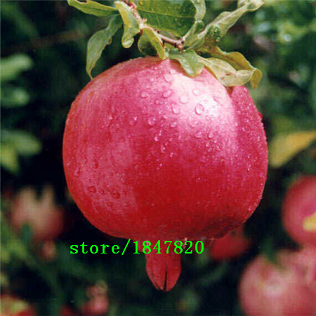 GGG 20pcs/lot, bonsai pomegranate seeds very sweet Delicious fruit seeds,succulents Tree seeds