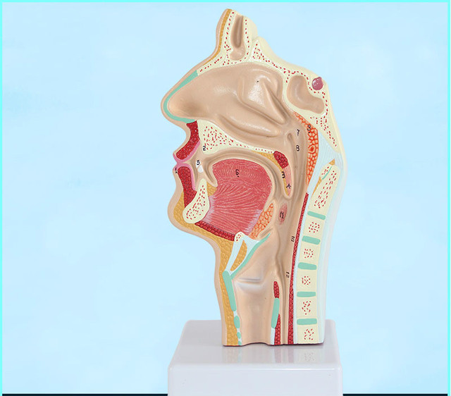 Head Anatomy Anatomical Model of Human Mouth Nasal Cavity and Throat ...