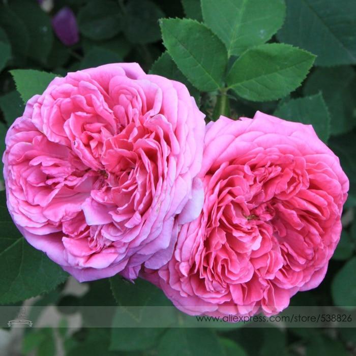 Aliexpress buy bellfarm bonsai rose purple series double bellfarm bonsai heirloom pink damask rose bush flower light fragrant garden flower high germination 50pcs mightylinksfo