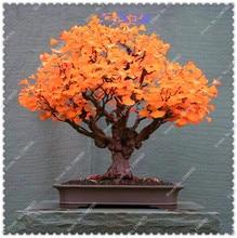 10Pcs Ginkgo Biloba Maidenhair Tree Seeds