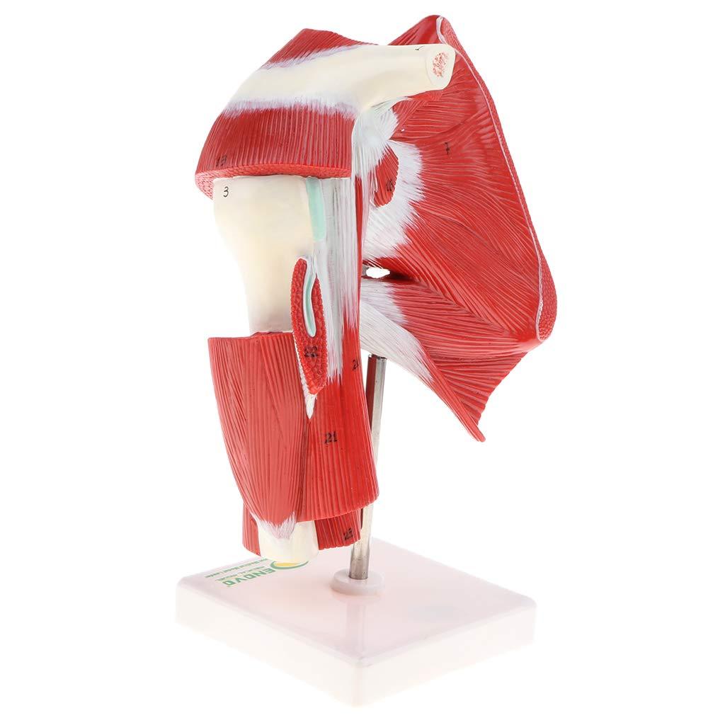 1: 1 Human Shoulder Articular Muscle Model Tendon Motion System Anatomical Model for School Teaching Tool Lab Supplies1: 1 Human Shoulder Articular Muscle Model Tendon Motion System Anatomical Model for School Teaching Tool Lab Supplies