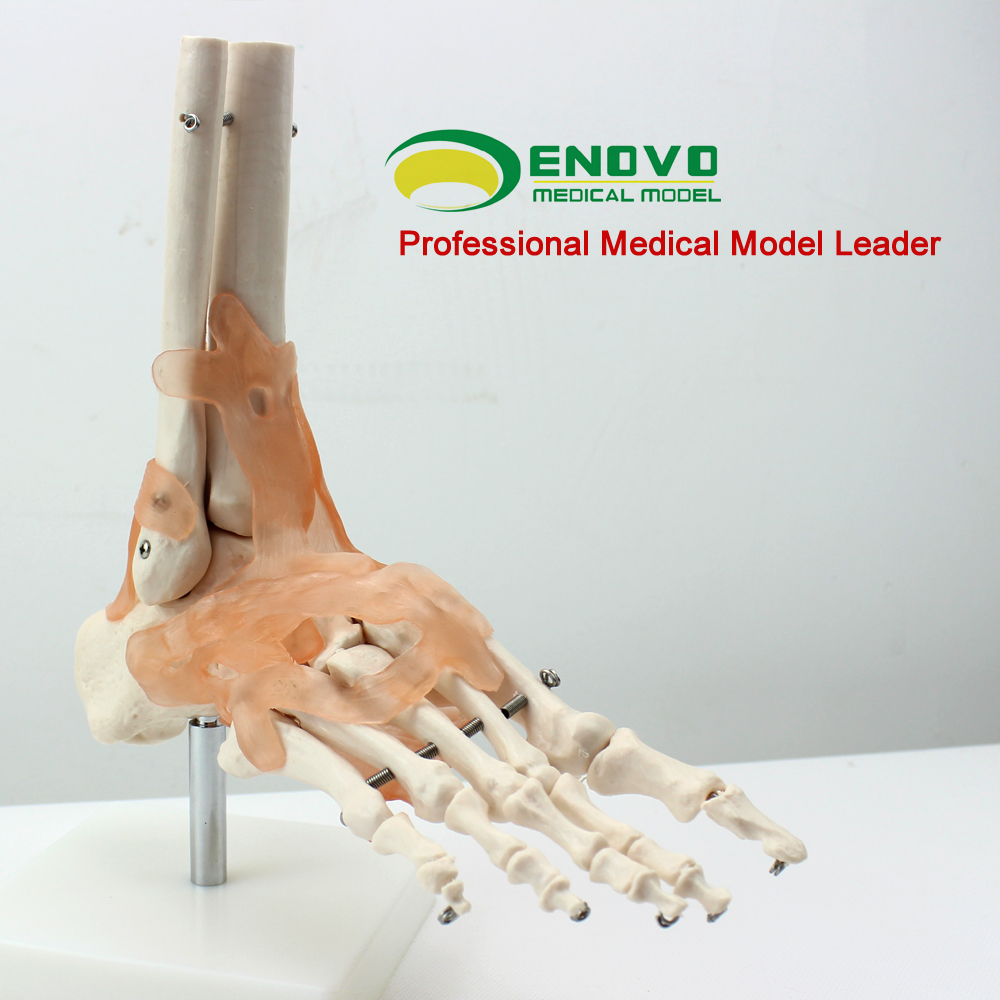 Fuß joint bänder modell menschlichen fußes gemeinsame skelett ...