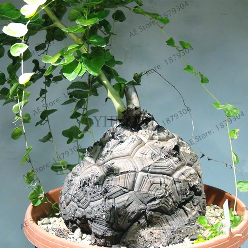 2pcs/bag Turtle Back,elephants Foot,hottentots Bread Flores bonsai Plant Home Garden Exquisite Traditional Embroidery Art dioscorea Elephantipes