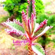 100 seeds/pack succulents (Kalanchoe Thyrsifloxotic) seeds