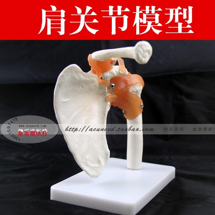 Shoulder joint model human skeleton model joint skeleton model Shoulder Bone Muscle Joint Anatomical Model human life size hip joint skeleton anatomical model
