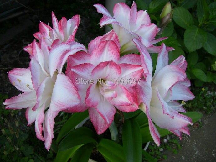 Free Shipping Flower Bulbs Big Light Pink 2bulbs Amaryllis Sementes De  Flores Amaryllis Bulbs Case E