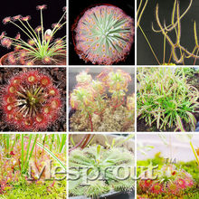 New !Unique Garden 100 Pcs Carnivorous Plants,Rare Venus Fly Trap Dionaea Muscipula Plants Insect Catching Diy Sundew Flores(China)