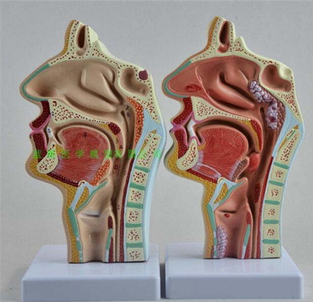 Head anatomy model nasal cavity and laryngopharyngeal lateral vascular nerve model human nasal cavity, oral laryngopharyngeal an