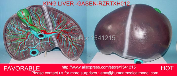 HUMAN LIVER MODEL ANATOMICAL MODEL MEDICAL SCIENCE TEACHING SUPPLIES,HUMAN LIVER MODEL, VIVID LIVER MODEL-GASEN-RZRTXH012 2 part anatomical healthy human uterus and ovary model female medical anatomy teaching supplies