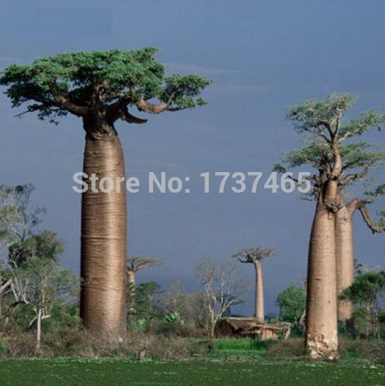 Adansonia grandidieri Baobab lot de 100 graines