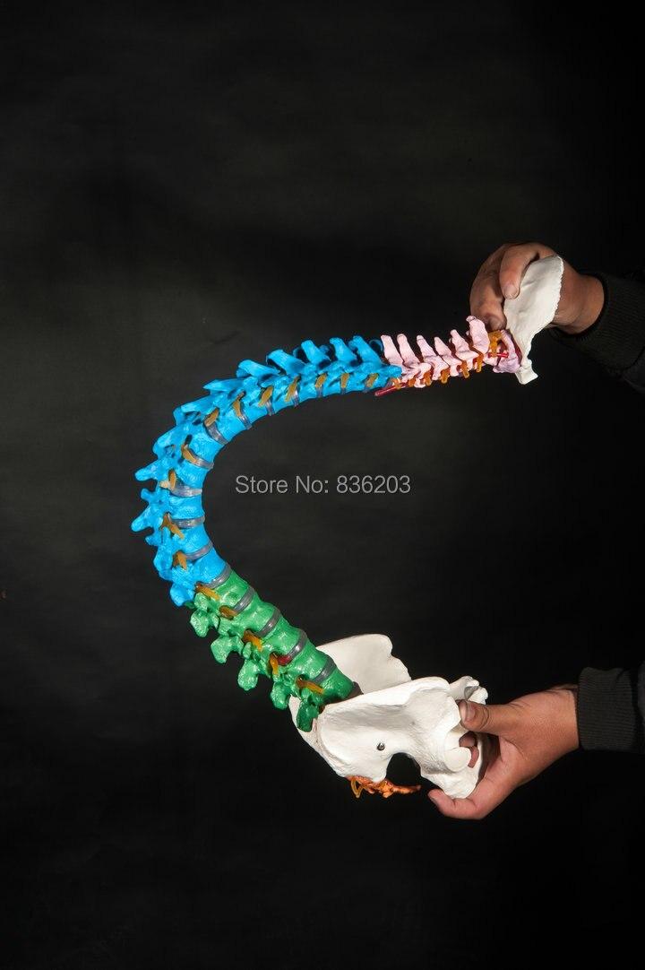 Esqueleto humano anatomía anatómica sombra didactico columna ...