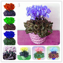 100 Pcs Japanese Colorful Bonsai Cyclamen Persicum Exotic Indoor Potted Garden Plant Rabbit Ears Blooming Flower,Easy To Plant(China)