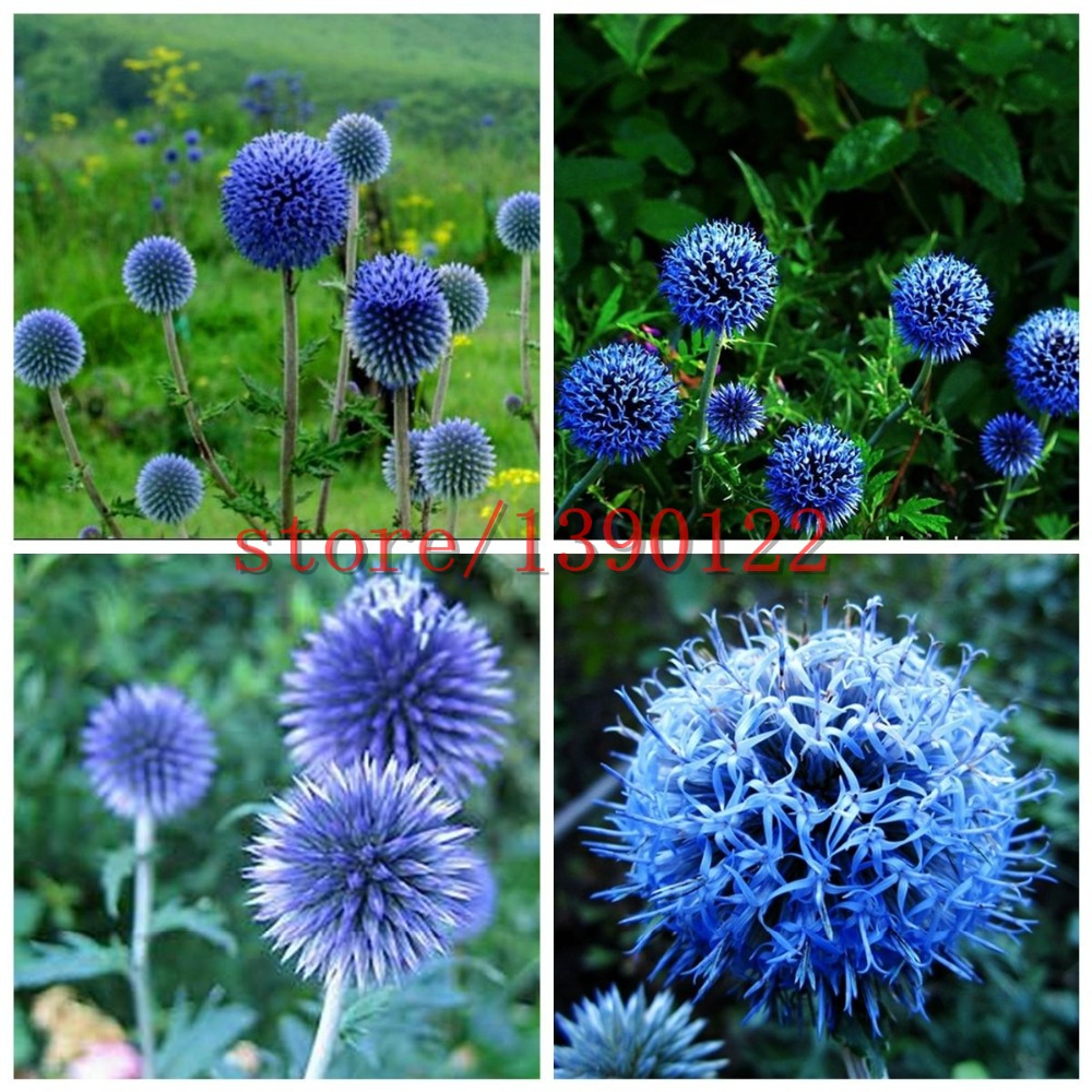 100pcs Blue Ball Thistle seeds,Japan Thistle, bonsai Thistle flower Echinops Ritro chrysanthemum for home garden planting