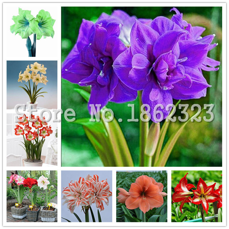 100個 ドワーフの木Bule Hippeastrum花(アマリリスランプではありません)鉢植えの室内の開花植物のための多年生の種子