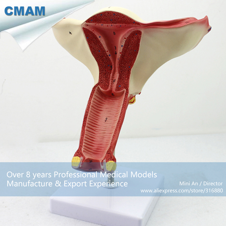 12444 CMAM-ANATOMY06 Anatomical model of Female Internal Genital Organs Anatomical Model male genital organs male genitalia anatomical model structure male reproductive organs decomposition model