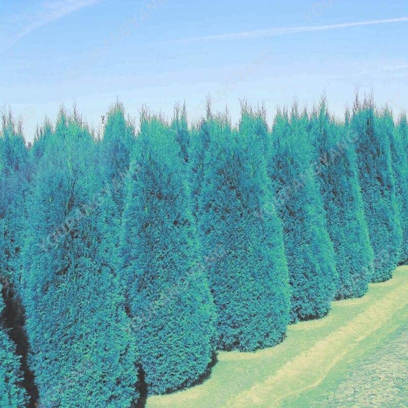 100pcs Blue Cypress Trees plants Rare Platycladus Orientalis Oriental Arborvitae plants Conifer plants DIY Home Garden - 3326-f4bd22.jpg