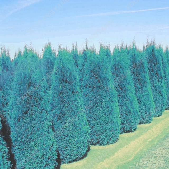 100pcs Blue Cypress Trees plants Rare Platycladus Orientalis Oriental Arborvitae plants Conifer plants DIY Home Garden.jpg 640x640 - 50 Pcs Blue Cypress Trees Platycladus Orientalis Oriental Arborvitae plant Conifer Bonsai DIY Home Garden - cypress, bonsai-tree -