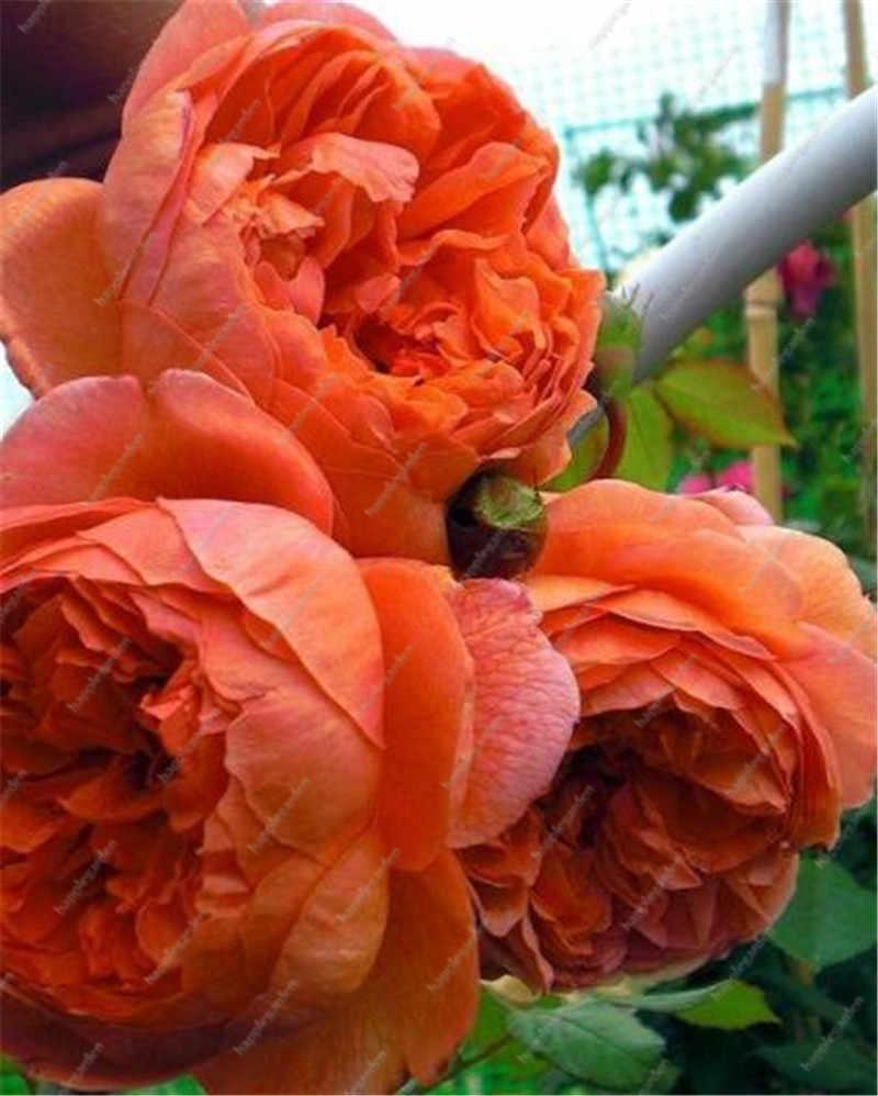 הגעה חדשה 10 יחידות סיני אדמונית עץ בונסאי צמח עבור מרפסת גן פרחים, אקזוטי Paeonia suffruticosa חתונה קישוט