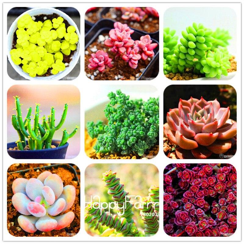 Novas Sementes 2016! 99 Tipos Raros Sementes Sementes De Lithops Pseudotruncatella Suculentas Escritório Bonsai Plantas Flor Sementes 100 Pçs/saco, # M0EH