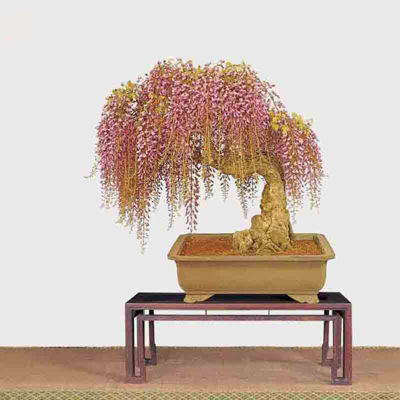 Hot Sale Unique Mini Bonsai Pink Wisteria Tree Seeds