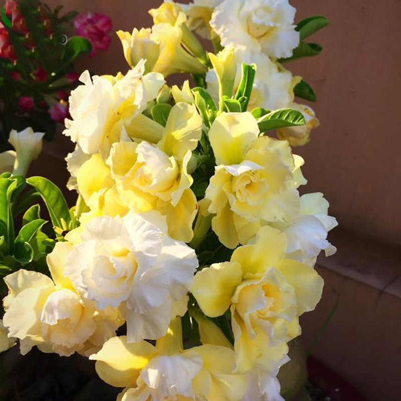 Unique yellow Desert Rose Ornamental Flowers Balcony Home Garden Flowers Adenium Obesum 1 PCS